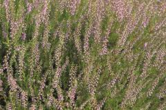 common heather (calluna vulgaris) - stock photo