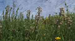 Marsh Helleborine (Epipactis palustris) frog view Stock Footage