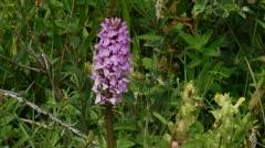 Marsh orchid - Dactylorhiza majalis Stock Footage