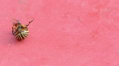 Closeup colorado potato beetle bug overturn walk red background Stock Footage