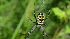 Blur wasp spider argiope bruennichi spiderweb green gras Stock Footage