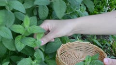 Woman hands gather pick mint leaf. alternative medicine herbs Stock Footage