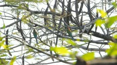 Blue-tailed Bee-eater Stock Footage