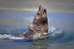 seal bursting out of the water - stock photo