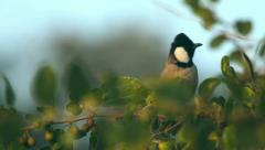 White-eared Bulbul Stock Footage