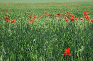 Field of wheat and red poppies Stock Photos
