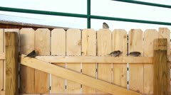 Sparrows on a wooden fence at sunrie Stock Footage