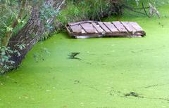 Small puddle with duckweed Stock Photos