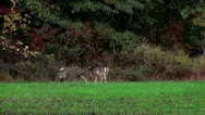 Frisky deer3 Stock Footage