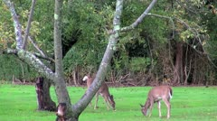 Two autumn deer Stock Footage