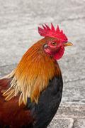 Kauai Rooster.jpg Stock Photos
