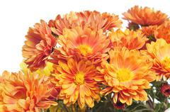 Orange gerbera daisies Stock Photos