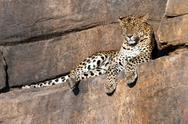 Leopard resting on a rock Stock Photos