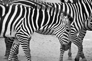 Stock Photo of black and white zebras