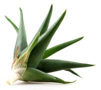 Stock Photo of aloe vera plant isolated on white