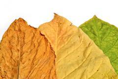 Tobacco leaf of thailand Stock Photos