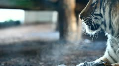 Visible breath of Siberian Tiger Stock Footage
