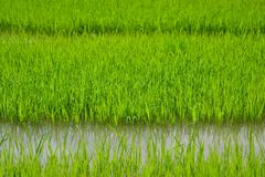 Stock Photo of rice sprouts in farm of thailand southeast asia