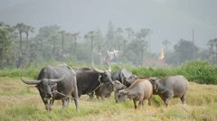 Water buffalos flock in country farm of thailand Stock Footage