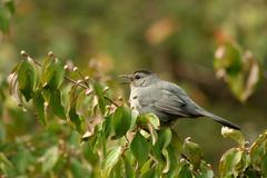 Gray catbird Stock Photos