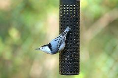 Stock Photo of white-breasted nuthatch