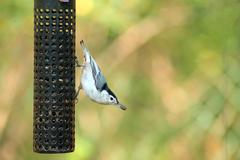 white-breasted nuthatch - stock photo