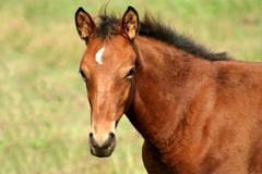 Brown colt horse Stock Photos