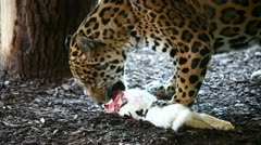 Jaguar eating a (the) white rabbit - stock footage