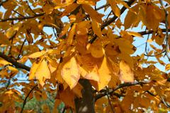 autumn tree leaves - stock photo