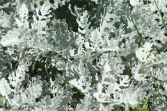 silver dust dusty miller plant - stock photo