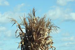cornstalks - stock photo