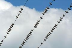 birds on a wire - stock photo