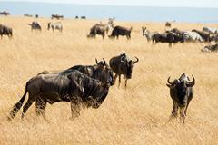 Wildebeest in masai mara national park Stock Photos