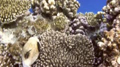 Masked puffer Stock Footage