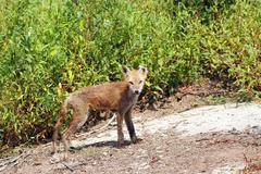Fox with mange Stock Photos