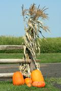 Pumkins and corn stalks Stock Photos