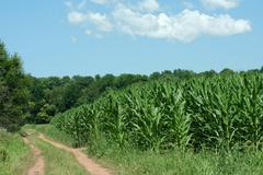 dirt road and cornfield - stock photo