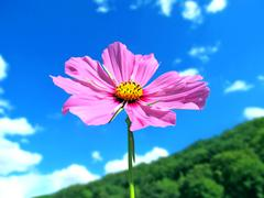 Pink summer flower on a mountain with beautiful sky Stock Photos