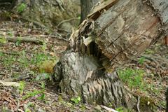 tree fell by beaver - stock photo