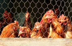 Bunch of chickens in a coop Stock Photos