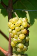 green chardonnay grapes - stock photo