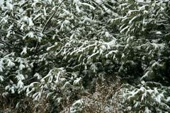 Snow covered pine tree Stock Photos