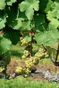 Green chardonnay grapes Stock Photos