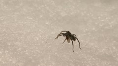 Spider on Ice Consuming Struggling Prey Bug - stock footage