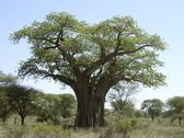 Stock Photo of baobab tree in tanzania