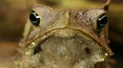 Crested Forest Toad (Rhinella margaritifer) in the Ecuadorian Amazon Stock Footage