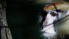 captive macaques in depression - stock footage