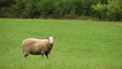 lonely white sheep on pasture - medium long shot - stock footage