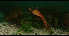 Weedy Sea Dragon (seahorse) Stock Footage