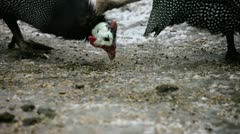 Two Helmeted Guineafowl eating Stock Footage